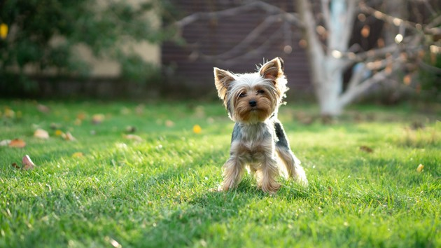 un Yorkshire Terrier