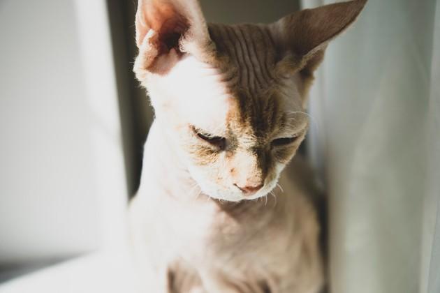 Coup de soleil chez le chat : comment protéger et soigner mon animal ?