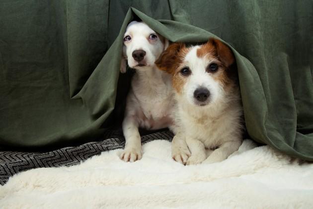 chiens effrayés par les feux d'artifice du 31 décembre