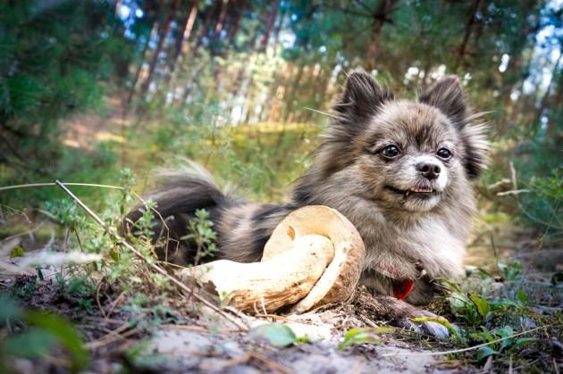 champignon sauvage toxique chien