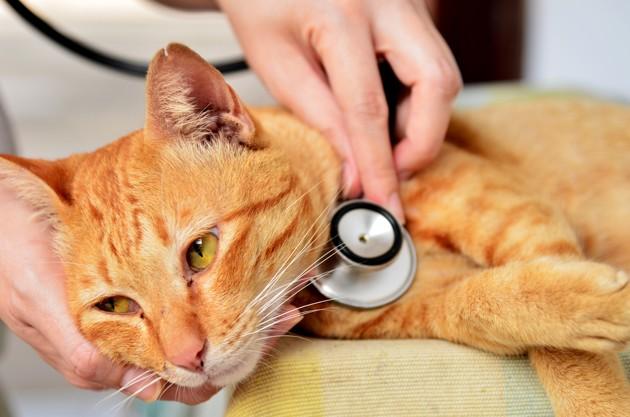 Coronavirus du chat : mon animal est-il à risque ?