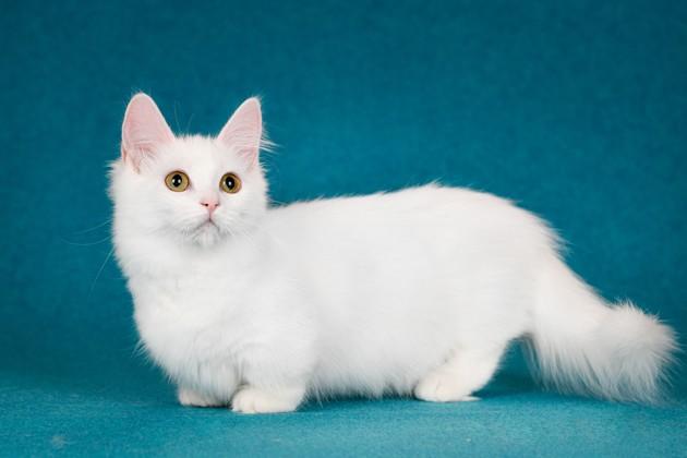 En Belgique, un conseil du bien-être propose l'interdiction de plusieurs races de chats