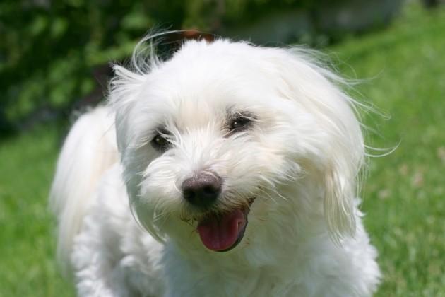 chien bichon maltais