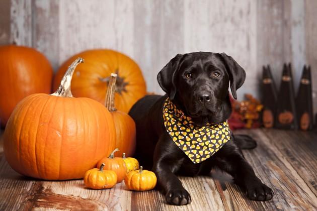 chien entouré de citrouilles d'Halloween