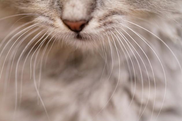 Doit-on couper les moustaches de son chat ?
