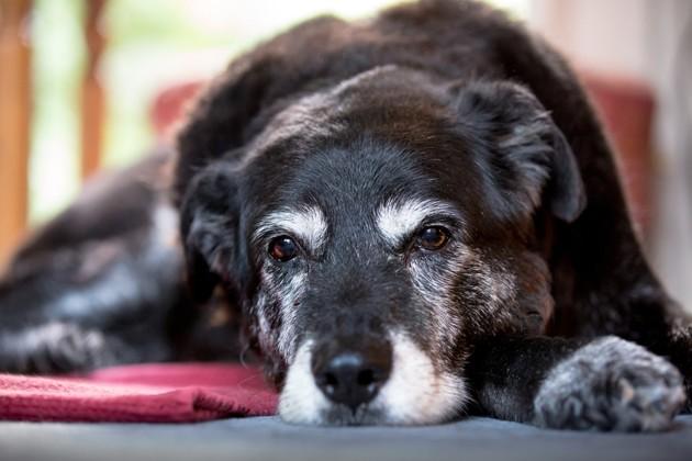 Comment s'occuper d'un vieux chien ?