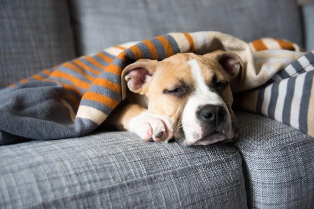 chien malade qui se repose sur le canapé