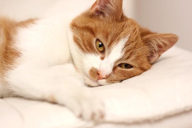 L'insuffisance rénale du chat : comment la prévenir et la soigner