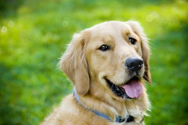 La salive de votre chien ou de votre chat est-elle dangereuse ?