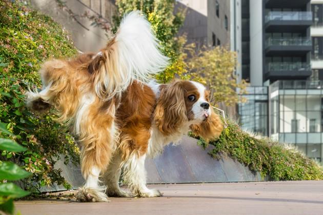 Pourquoi les petits chiens lèvent plus haut la patte pour uriner ?