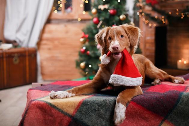 chien qui tient un bonnet de Noël