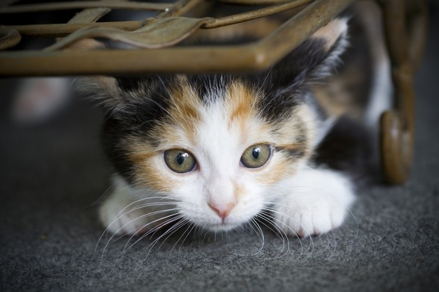 Chaton tricolore caché sous un meuble