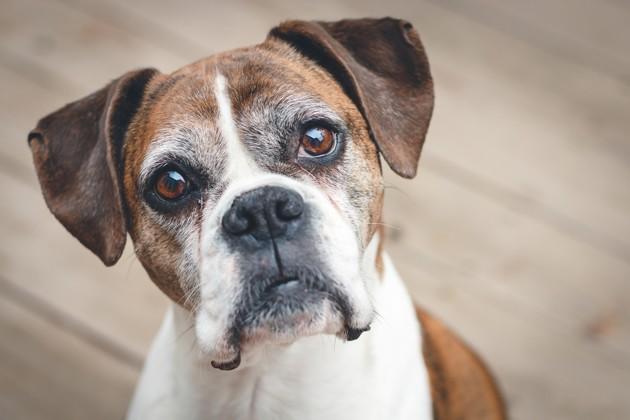 5 questions pour savoir si votre chien souffre en vieillissant
