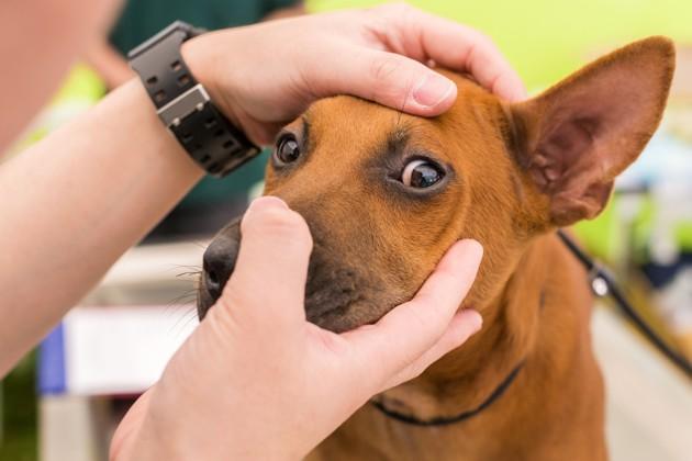 Comment soigner une otite externe chez le chien ?