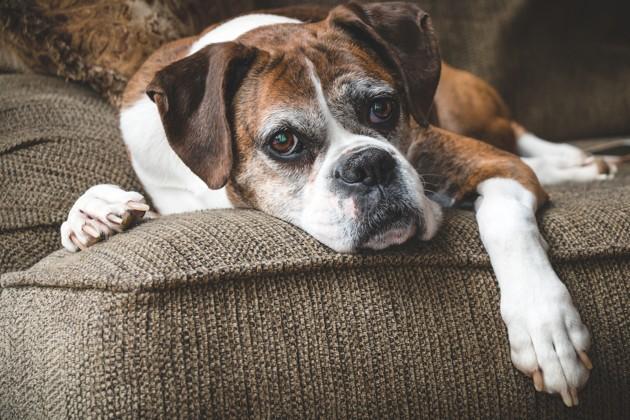 chien avec une insuffisance cardiaque