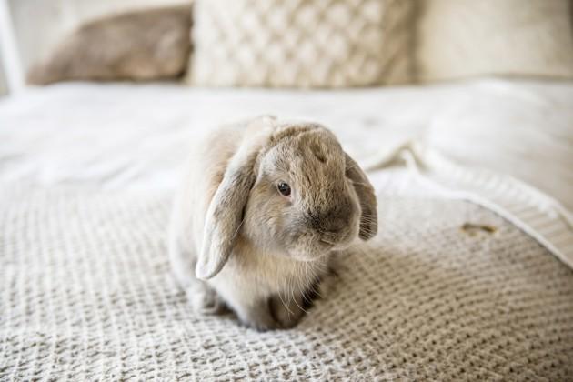 Covid-19 : mon lapin est-il à risque ?