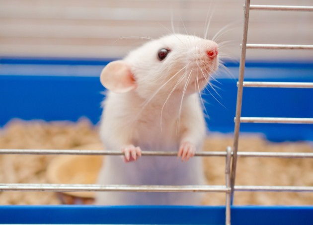 rat domestique dans sa cage