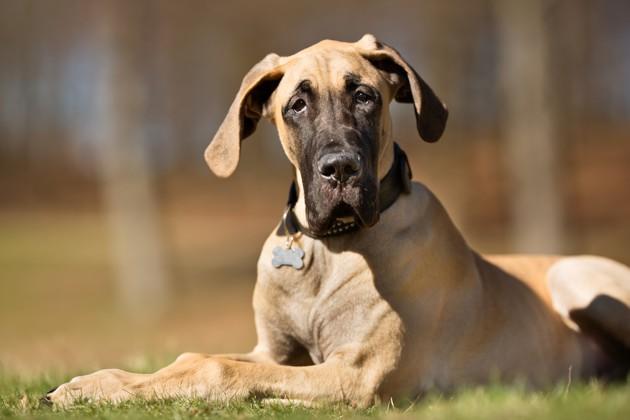 chien dogue allemand
