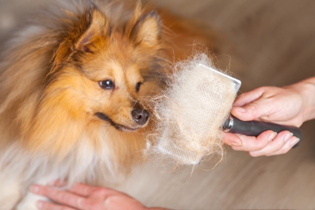 Comment gérer la perte de poils du chien à l'automne et au printemps ?
