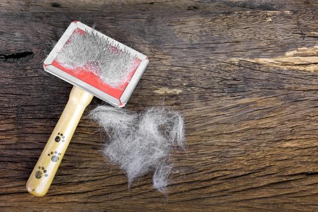 Mue du chien : comment gérer la perte de poils du chien à l'automne et au printemps ?