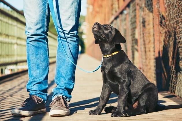 Chiot labrador en laisse assis à côté des jambes de son maître