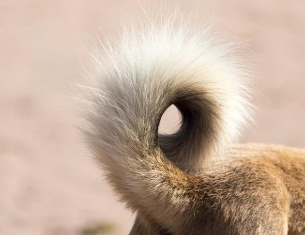 Mon chien perd ses poils sur sa queue : pourquoi et que faire ?