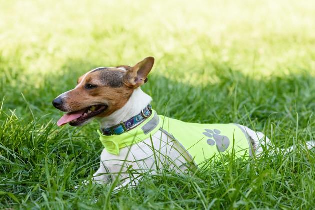 chien qui porte un gilet fluorescent pour être vu des chasseurs