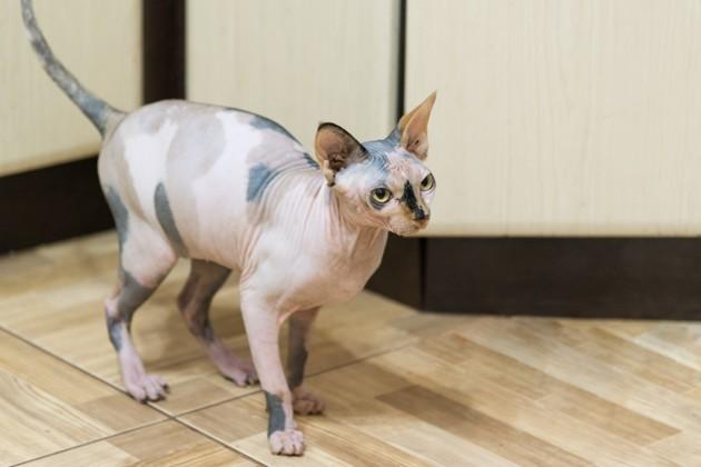 chat peterbald