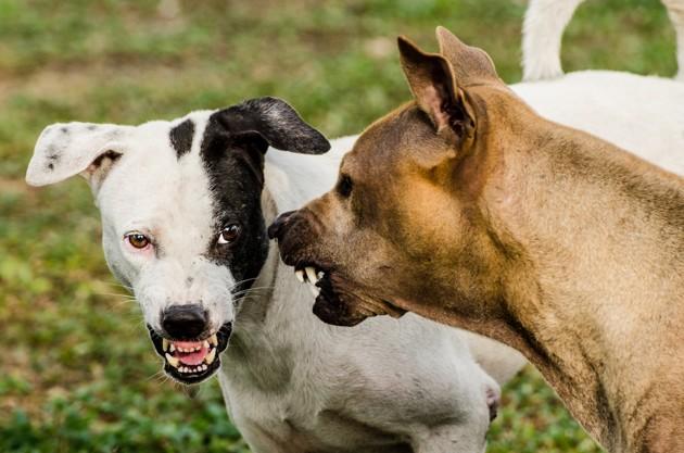 bagarre entre chiens