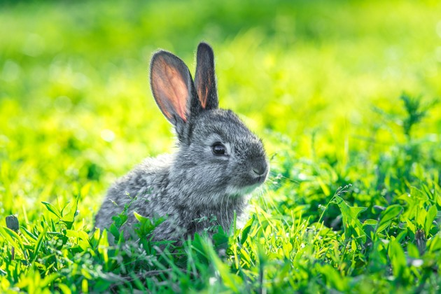 Peut-on laisser son lapin vivre au jardin sans risque ?