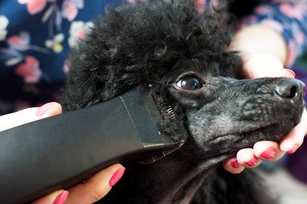 Quand et pourquoi faut-il tondre votre chien ?