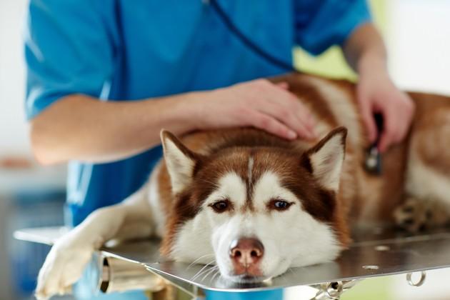 Chimiothérapie du chien : à quoi faut-il s'attendre pour son chien atteint de cancer ?