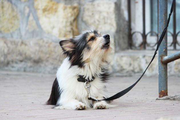 Qu'est-ce que le reverse sneezing chez le chien ?