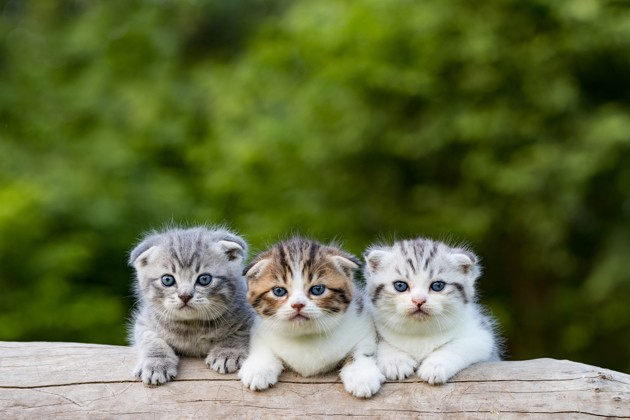 trois chatons Scottish Fold