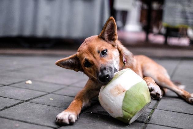 chien qui croque une noix de coco