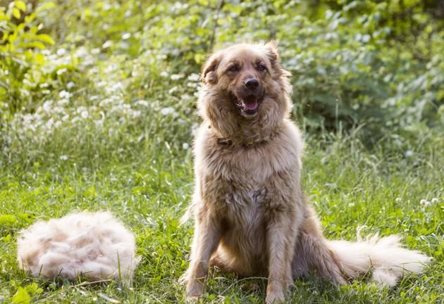 Perte de poils du chien : tout savoir sur la mue printanière du chien