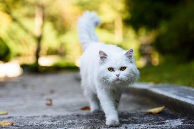 chat persan blanc