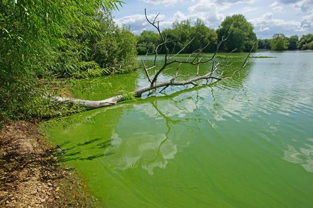 Intoxication aux cyanobactéries : comment protéger mon chien lors des baignades ?