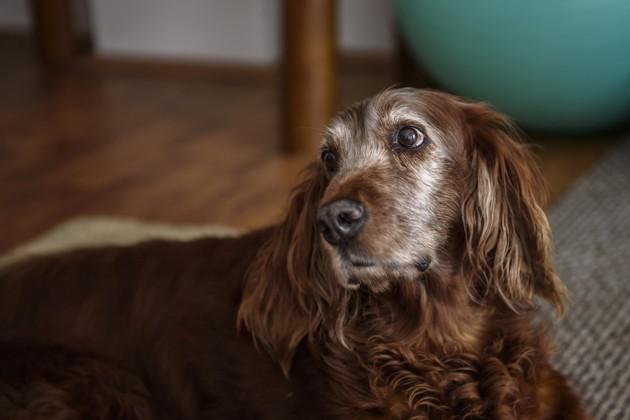 un vieux chien avec des problèmes cardiaques
