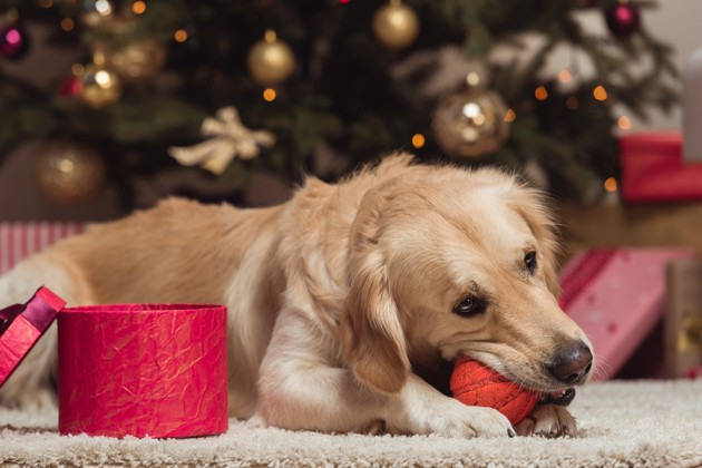 chien qui ouvre un cadeau de Noël