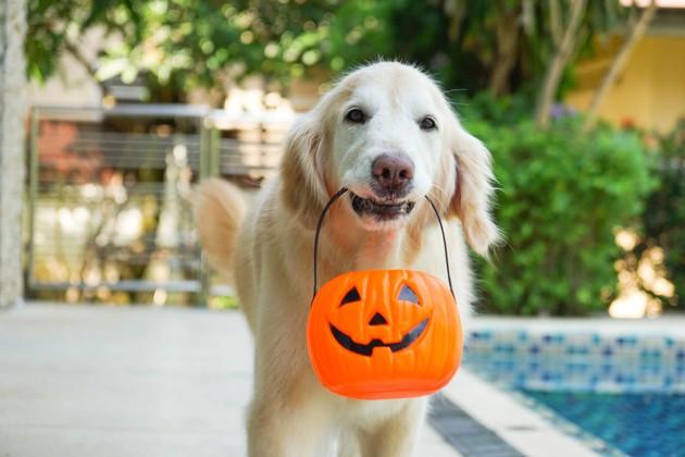 chien avec une citrouille d'halloween