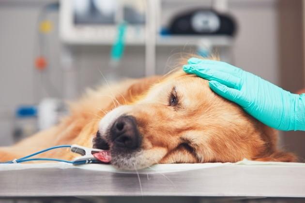 Lymphome chez le chien : symptômes et traitements de ce cancer