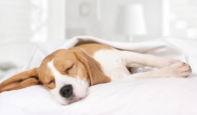 Le ronflement du chien : quand doit-on s'inquiéter ? La réponse d'un vétérinaire