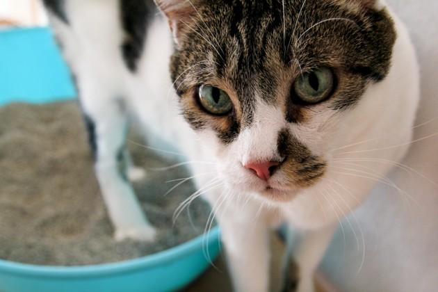 chat litière cystite