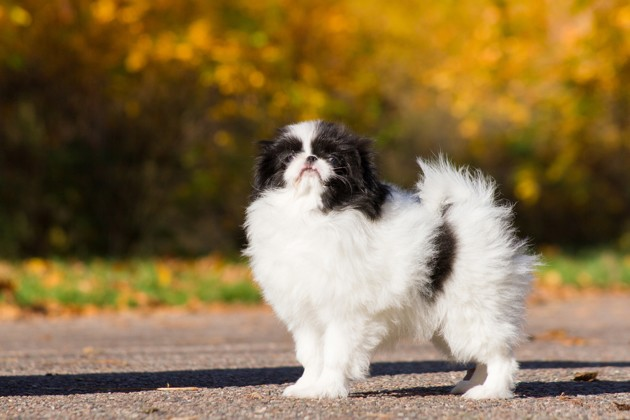 chien epagneul japonais