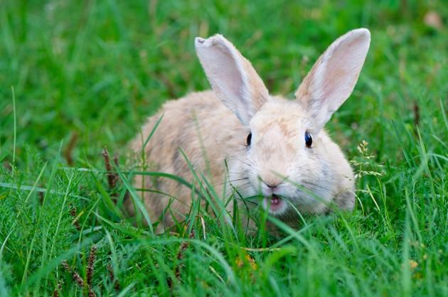 Mon lapin m'attaque : pourquoi et que faire ?