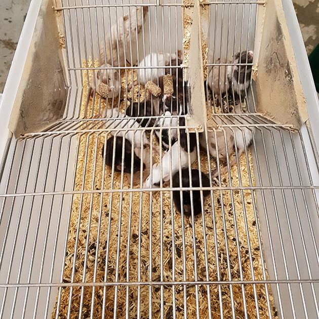 500 rongeurs sauvés par la SPA d'un élevage en Haute-Loire