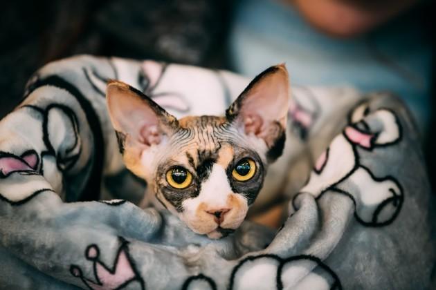 cat breed sphynx