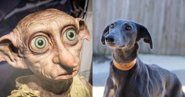 Ce chien qui ressemble comme deux gouttes d'eau à Dobby de Harry Potter cherche une famille pour la vie