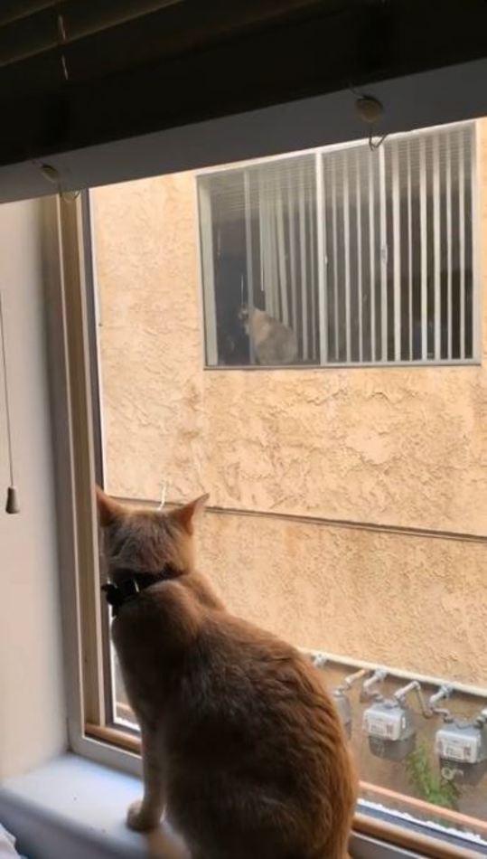 Ces deux chats vivent une grande histoire d'amour à travers la fenêtre de leurs appartements voisins
